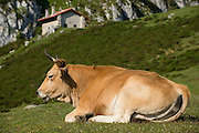 Cow relaxing near Ercina lake, Picos de Europa national park, Cantabria, Spain
