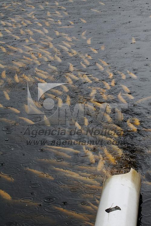 AMANALCO DE BECERRA, México.- Amanalco es uno uno de los principales productores de trucha de diversas especies, entre ellas la especie albina, un alimento  bajo en grasa, y que contiene proteínas de alto valor biológico, vitaminas y minerales. Agencia MVT / Crisanta Espinosa. (DIGITAL)