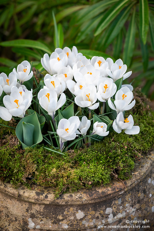 Crocus 'Jeanne d'Arc' in a stone urn