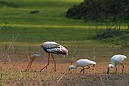 Painted Stork - Mycteria leucocephala - feeding with Eurasian Spoonbills - Platalea leucorodia