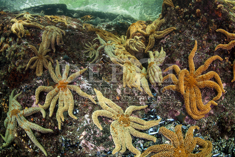 Coscinasterias calamaria (Eleven Armed Starfish)<br /> Saturday 05 April 2014<br /> Photograph Richard Robinson &copy; 2014<br /> Dive Number: 516<br /> Site: Acheron Passage, Eastern Side, North of Wet Jacket Arm, Dusky Sound, Fiordland.<br /> Boat: Tutoko<br /> Dive Ian Skipworth<br /> Time: 14:37<br /> Temperature:  14.8<br /> Rebreather: Inspiration Vision. Total Time On Unit: 320:40 hh:mm<br /> Maximum Depth: 26.5 meters<br /> Bottom Time: 171 minutes<br /> Mix: 21<br /> CNS: 66%<br /> OTU: 62%<br /> Bottom Time to Date: 34,929 minutes<br /> Cumulative Time: 35,100 minutes