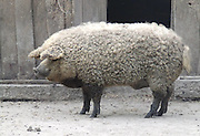 Mangalitsa, The PIg that Resembles a Sheep<br /> <br /> Mangalitsa or Mangalica is a rare breed of pig of Hungarian origin that has an unusual growth of curly hair over its body, akin to that of a sheep. The fleece can be black, or red, but is most commonly blond. The only other pig breed noted for having a long coat is the now extinct Lincolnshire Curly Coat of England. The Mangalica is the last pig in existence to sport this unusual fleece, and it was nearly lost to extinction by the 1990s, when fewer than 200 pigs remained.<br /> <br /> Breeding of the Mangalitsa started in the 1830s in the Austro-Hungarian Empire after Archduke Joseph Anton Johann, the seventh son of the Roman Emperor Leopold II, received some Sumadija pigs from a Serbian prince, and crossed them with Bakony and Szalonta pigs. The resulting Mangalitsa sported curly hair and were inclined to put on much weight. Initially the pig was reserved for the Habsburg Royalty, but because of its great taste it became so popular that by the end of the 19th century it was the main breed in Europe.<br /> ©Amazing Planet/Exclusivepix