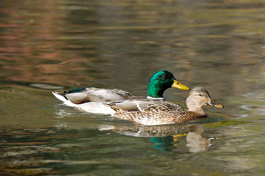 Mallard Duck (Anas platyrhynchos) on the Yellowstone River, Hayden Valley, Yellowstone National Park.  Fall.