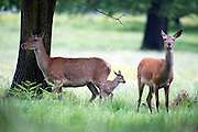 © Licensed to London News Pictures. 28/05/2014. Richmond, UK. Deer, including a newly born fawn, shelter under a tree.  Wet weather in Richmond Park today 28th May 2014. Photo credit : Stephen Simpson/LNP