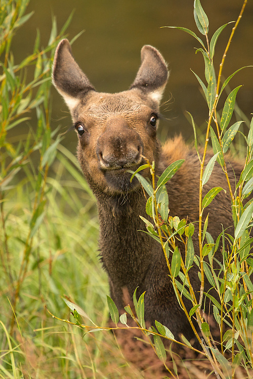 During midsummer, moose calves shed their orange coat, which is replaced by dark brown adult fur.  At this time of year, calves grow rapidly, gaining up to four pounds a day until they're almost as large as their mother at the end of their first year.