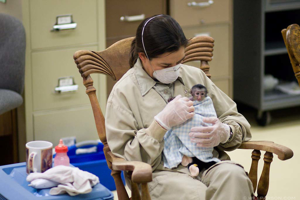A zookeepr bottle-feeds a young primate in the nursery at the San Diego Zoo