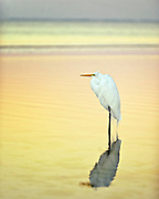 Egret Reflection at Fort Myers Beach, Florida