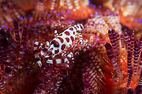 Coleman Shrimp pair on Fire Urchin<br /> <br /> Shot in Indonesia