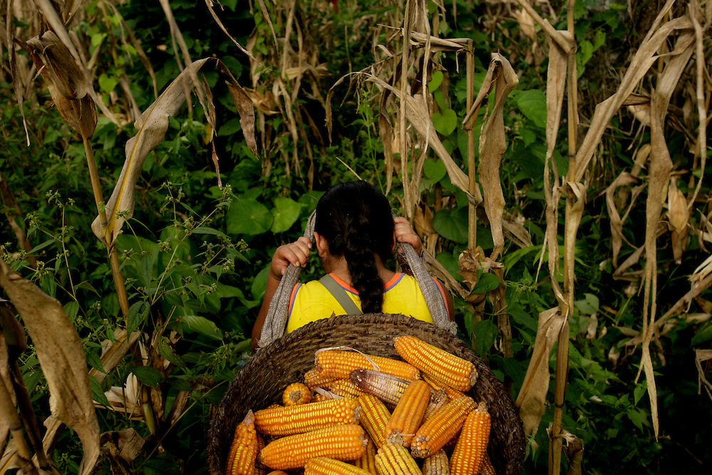 """Blanca Ashanga harvests corn in a community field. All the community works in what they call a """"Minga"""" where everyone contributes and harvest for the community.  The proceeds of selling the corn will be used for services in the community."""