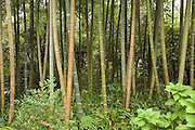 close up of bamboo trees in a Japanese garden