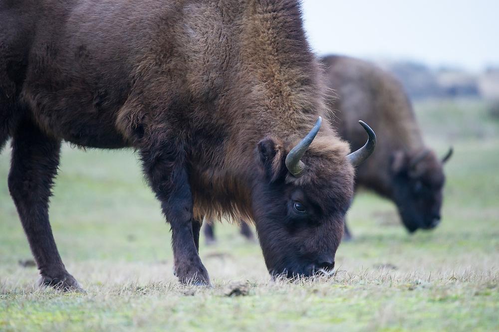 Two European bison (Bison bonasus) grazing in grassland