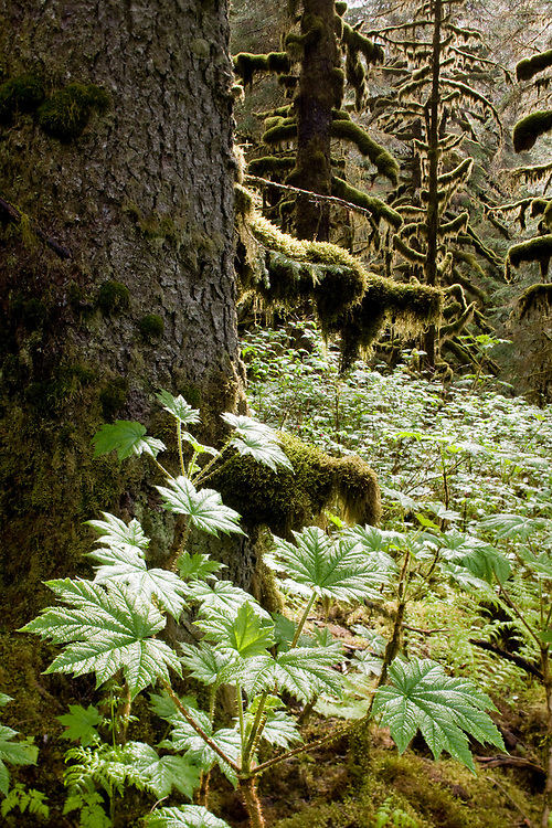 USA, Alaska, Kodiak Island, Sunlight on Devil's Club leaves in temperate rainforest on summer afternoon