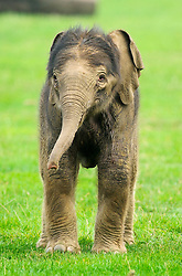 © Licensed to London News Pictures. 18/09/2014 London, UK. A two day old baby elephant stands in the paddock at Whipsnade Zoo, Beds. The male calf  was born on September 16th to fourth time mum 30 year old Azizah and weighs in at 133kg. The as yet unnamed male was unusually born outside amongst the ten strong Whipsnade herd.  Photo credit : Simon Jacobs/LNP