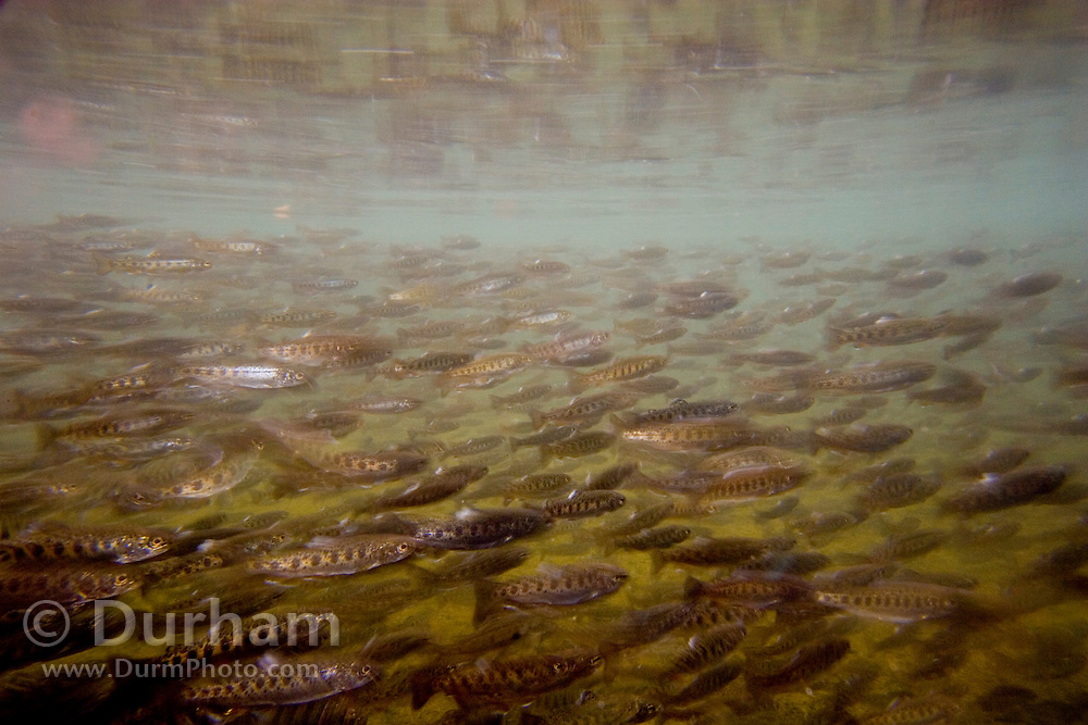 Rainbow Trout fry (Oncorhynchus mykiss) in a rearing pond at The Vancouver Trout Hatchery, Washington.