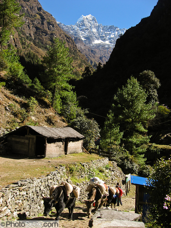 Yaks carry loads beneath the peak of Kusum Kanguru (20,889 feet / 6367 meters), seen from Thado Khoshi Khola bridge, in Nepal