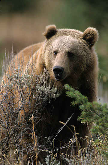 Grizzly Bear, (Ursus horribilis) Montana. Adult Rocky mountains. Captive Animal.