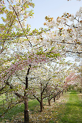 Avenue of ornamental cherries at Brogdale National Fruit Collection