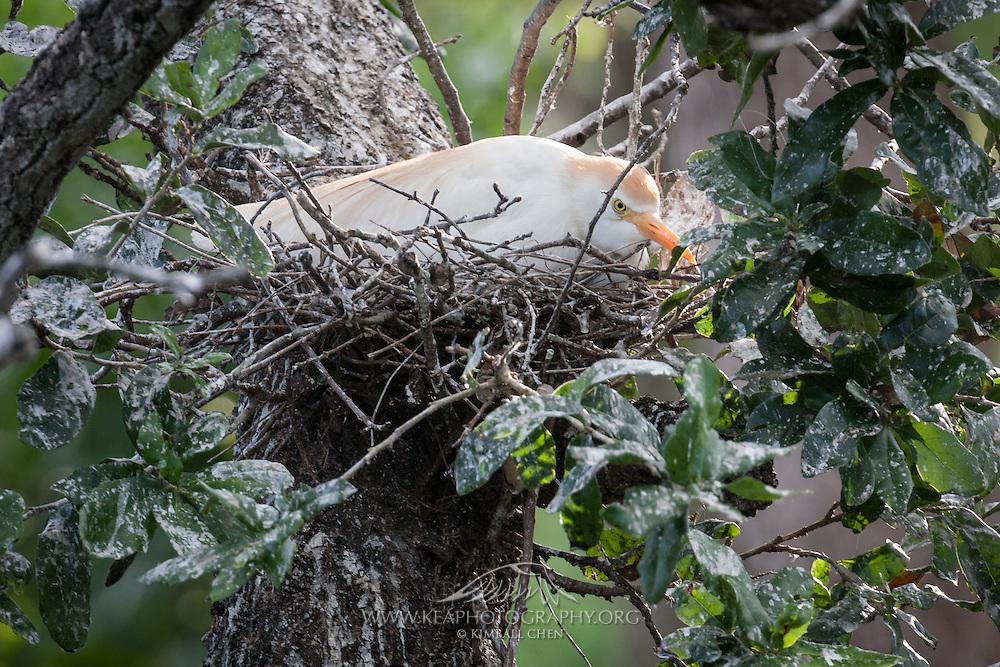 Cattle Egret sitting on nest at the rookery on Ochsner Island, Louisiana