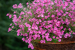 Diascia Coral Belle syn. 'Hecbel' AGM in a hanging basket