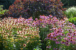 A border of mixed echinaceas