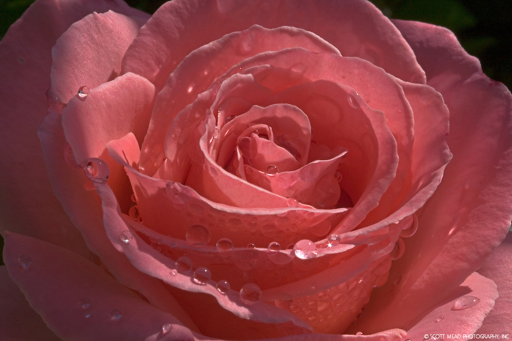 Morning dew drops adorn this pink rose in Kula, Maui, Hawaii