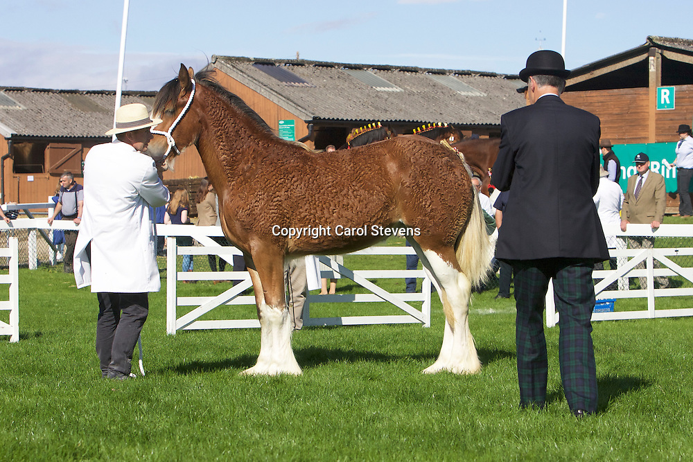 Richard &amp; Robert Bedford's 1 yr old Bay Filly<br /> Sunningdale Enya<br /> Sire  Sunningdale Max<br /> 1st  Filly or Gelding, Yearling or 2 year old Class