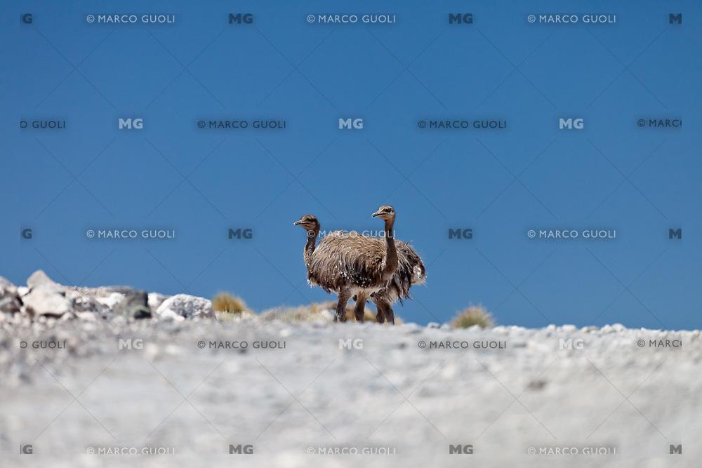 NANDU DE DARWIN, CHOIQUE (Rhea Pterocnemia pennata) RESERVA PROVINCIAL LA PAYUNIA (PAYUN, PAYEN), MALARGUE, PROVINCIA DE MENDOZA, ARGENTINA (PHOTO © MARCO GUOLI - ALL RIGHTS RESERVED)