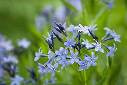 Amsonia 'Blue Ice'. Bluestar