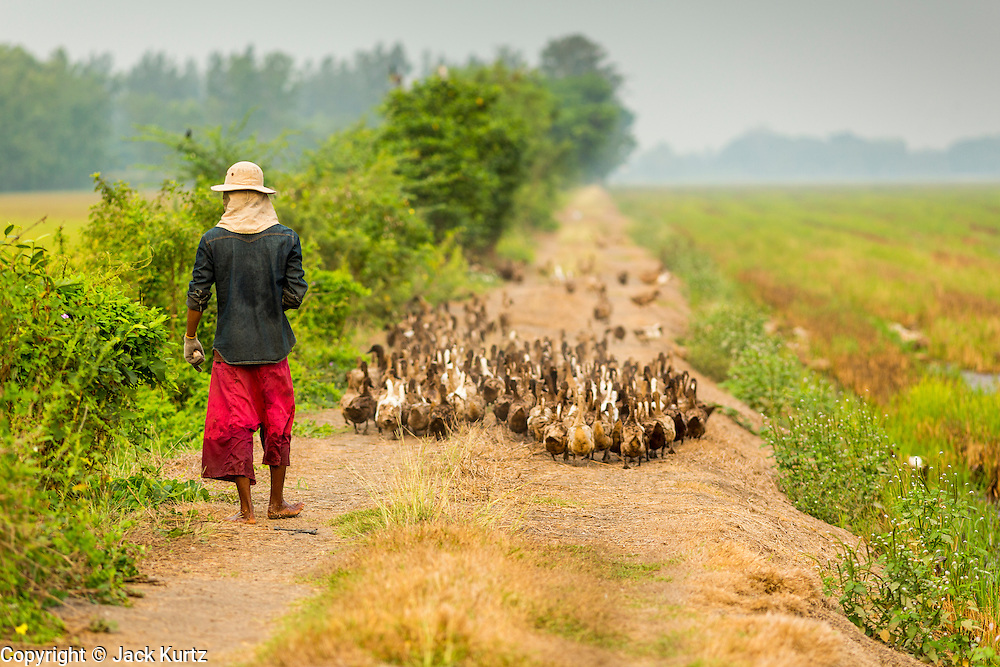 17 MARCH 2014 - BUNG THONG LONG, PATHUM THANI, THAILAND:  A duck wrangler walks through a rice field in Pathum Thani province. His ducks work in the rice fields, they go through the fields eating bugs and pests that hurt the rice crop. He said the drought has made it harder for his ducks to work because there isn't enough water in the fields for the ducks to swim through the field. It hasn't rained in central Thailand in more than three months, impacting agriculture and domestic water use. Many farms are running short of irrigration water and salt water from the Gulf of Siam has come up the Chao Phraya River and infiltrated the water plants in Pathum Thani province that serve Bangkok.PHOTO BY JACK KURTZ