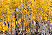 Autumn Aspens on the Boulder Mountain in Utah