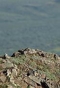 Marmot, Hoary Marmot, Denali, Denali National Park, Alaska