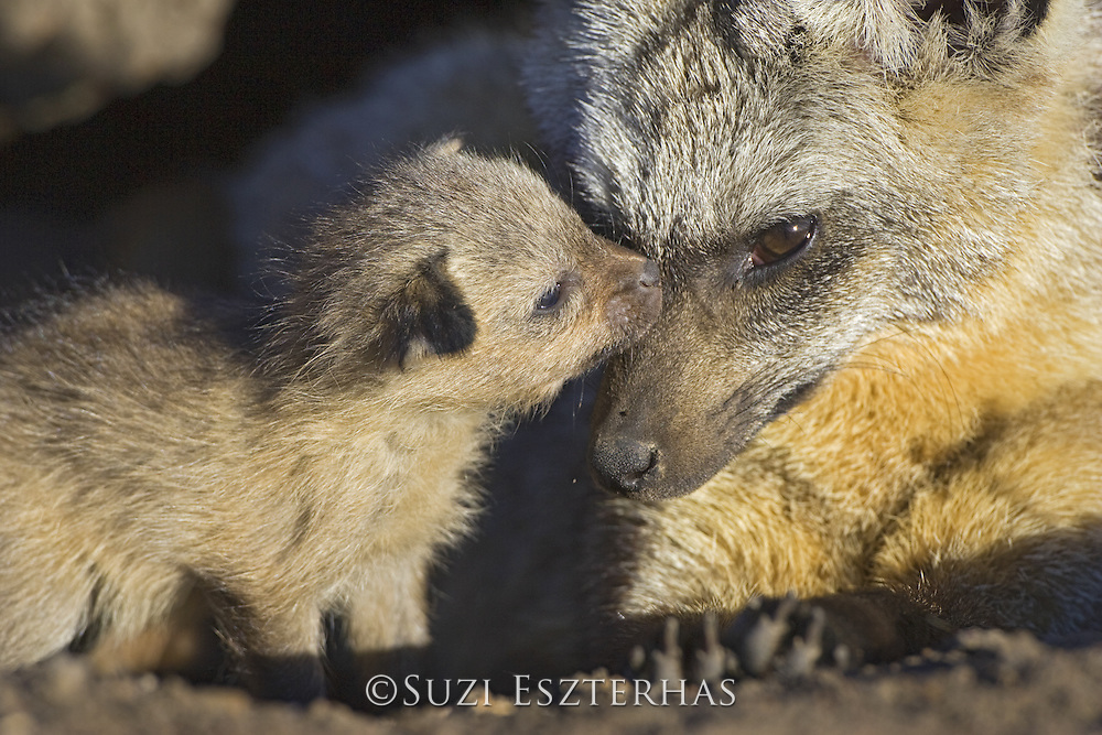 Bat-eared fox<br /> Otocyon megalotis<br /> With 12 day old pup(s) at den<br /> Masai Mara Reserve, Kenya