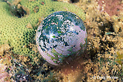 single-celled green alga, Valonia ventricosa, Kimbe Bay, New Britain, Papua New Guinea ( Bismarck Sea / Western Pacific Ocean )