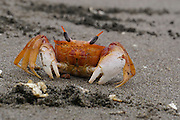 Crab on the Pacific ocean beach at Mollendo in southern Peru