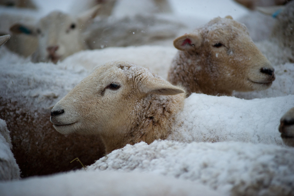 Sheep in snowstorm