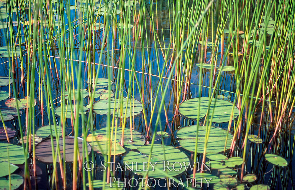 Lilly Pad, water, swamp, wetland