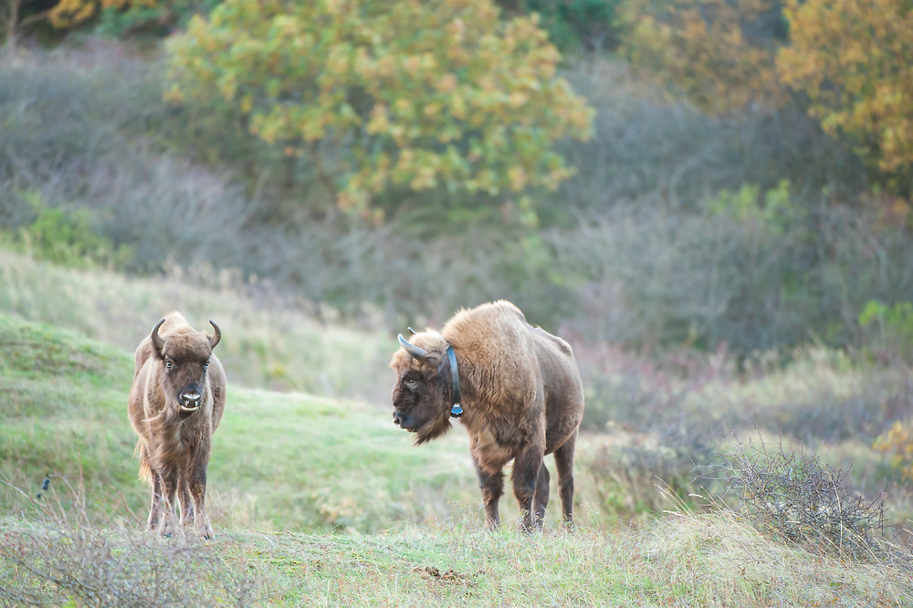Two European bison (Bison bonasus) in dune landscape. One bison is collared to track the movement of the herd.
