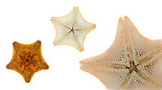 Bat Star (Patiria miniata)<br />