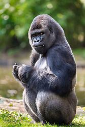 01.04.2016, Zoo, Duisburg, GER, Tiere im Zoo, im Bild Gorilla hockt fressend und schaut misstrauisch // during visit to the Zoo. Duisburg, Germany on 2016/04/01. EXPA Pictures © 2016, PhotoCredit: EXPA/ Eibner-Pressefoto/ Hommes<br /> <br /> *****ATTENTION - OUT of GER*****