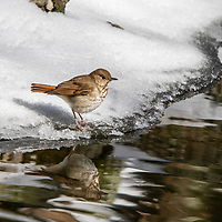 Hermit Thrush on the banks of a creek