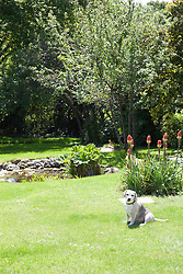 Beagle Dog Sitting on Garden Lawn by Pond