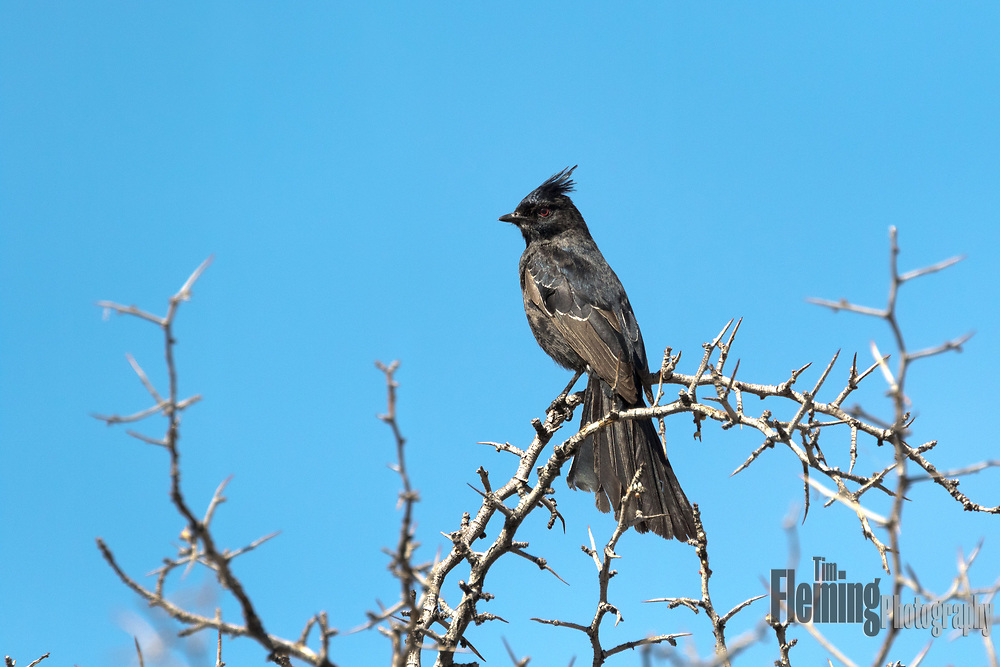 Phainopepia perched on shrub in the Whitewater Preserve, part of the Sand to Snow National Monument in California