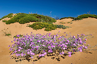 Malcolmia littorea, Southwest Alentejo and Vicentine Coast Natural Park, Portugal
