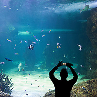 Australia, New South Wales, Sydney, Tourist uses iPhone to photograph fish swimming in tank at Sydney Aquarium