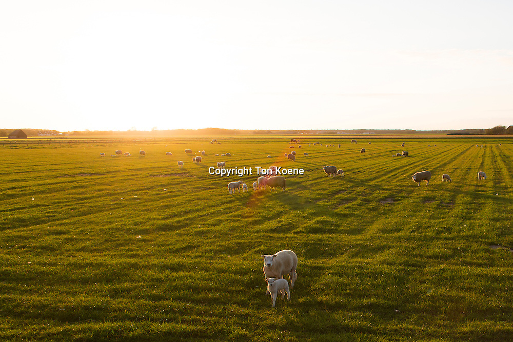 sheep at the island of telex, Holland