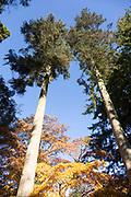 Noble fir tree,  Abies Procera, National arboretum, Westonbirt arboretum, Gloucestershire, England, UK