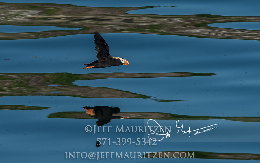 A Tufted puffin (Fratercula cirrhata) in flight over the waters in Glacier Bay National Park, Alaska.