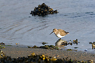 A Dunlin (Calidris alpina) forages for food along the shore of Penn Cove, Washington State.