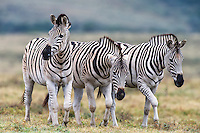 Burchells Zebra stallions walking together in a group , Addo Elephant National Park, Eastern Cape, South Africa