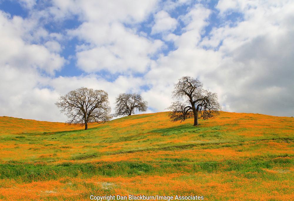 A field of blooming fiddleneck wildflowers surrounds budding oak trees on a hillside below Kern Canyon in California